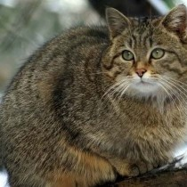 Дикая лесная кошка, обложка