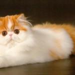 Персидская кошка, фото