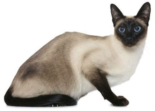 Сиамская кошка, внешний вид
