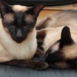 Сиамская кошка, фото