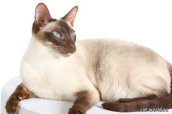 Сиамская кошка, обложка