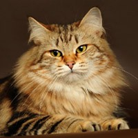 Сибирская кошка, обложка