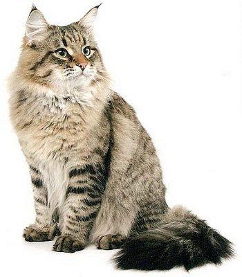 Сибирская кошка, внешний вид