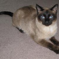 Кошка-долгожительница