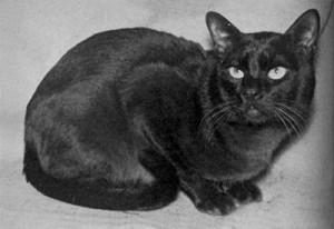 Бурманская кошка, старое фото
