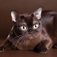 Бурманская кошка, обложка