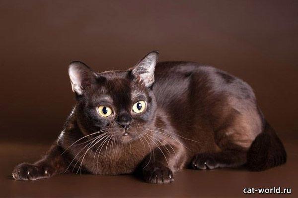 Бурманская кошка, фото