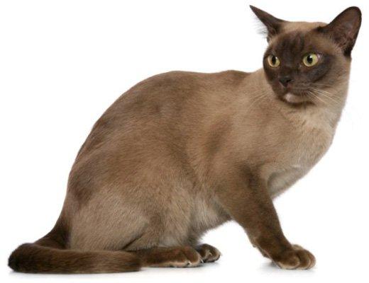 Бурманская кошка, внешний вид