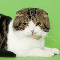 Шотландская вислоухая кошка, обложка
