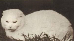 Первая шотландская вислоухая кошка, сьюзи