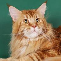 Мейн кун — кот-енот