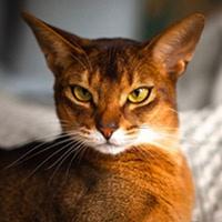 Абиссинская кошка, обложка