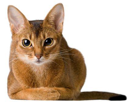Абиссинская кошка, внешний вид