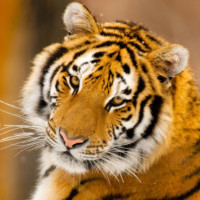 Амурский тигр: занесенный в красную книгу