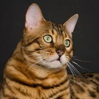 Бенгальская кошка — леопард у вас дома