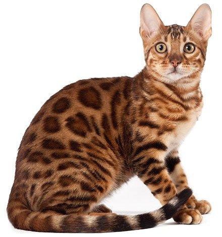 Кот цвета леопард