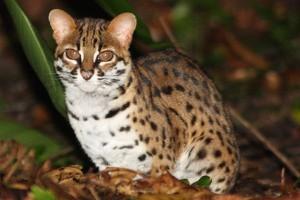 Дикий азиатский леопардовый кот