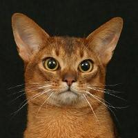 Абиссинская кошка, видео
