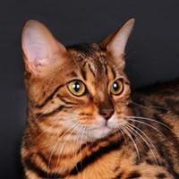 Бенгальская кошка, видео