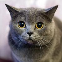Видео о британской короткошерстной кошке