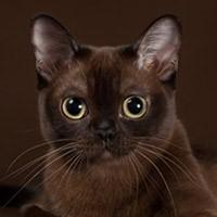 Видео о бурманской кошке
