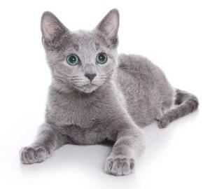 Русская голубая кошка, внешний вид