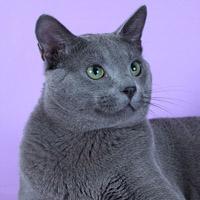 Русская голубая кошка, обложка