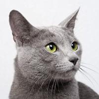 Видео о русской голубой кошке