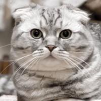 Видео о шотландской вислоухой кошке (скоттиш фолде)