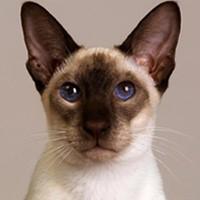 Видео о сиамской кошке