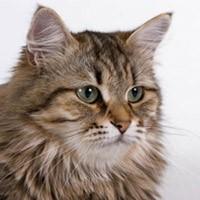 Сибирская кошка, видео