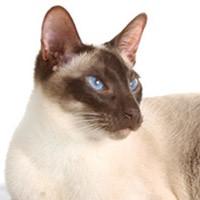 Сиамская кошка — грациозная порода азиатских аристократов