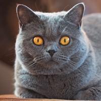 Британская короткошерстная кошка. Обои