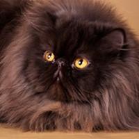 Персидская кошка, обложка