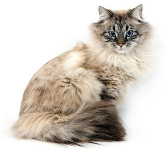 Невская маскарадная кошка, внешний вид