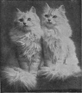 Персидская кошка, старое фото