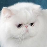 Видео о персидской кошке