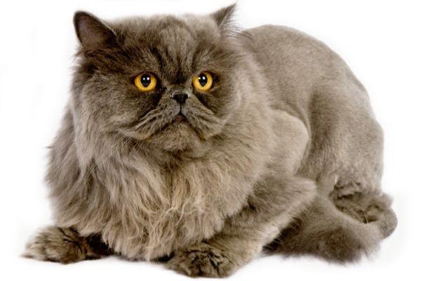Персидская кошка, внешний вид