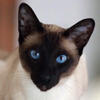 Сиамская кошка. Обои