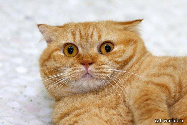 Удивленный рыжий кот