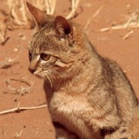 Откуда произошло слово «кошка»