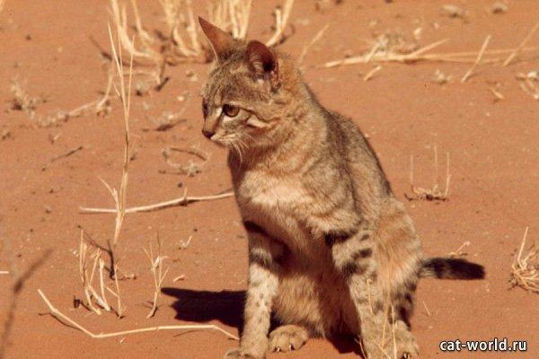 Африканская кошка