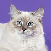 Невская маскарадная кошка или сибирский колор-пойнт