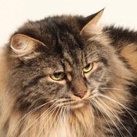 Сибирская кошка. Обои