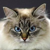 Видео о невской маскарадной кошке (сибирском колор-пойнте)
