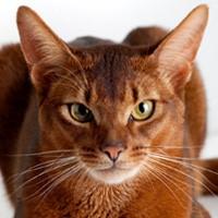 Абиссинская кошка. Обои