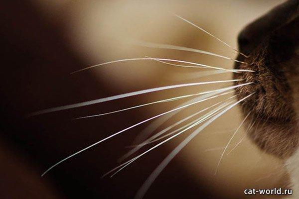 cat-whiskers