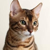 Бенгальская кошка. Обои